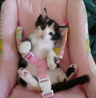 kitty in seatbelt