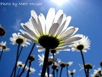 sun kissed daisies